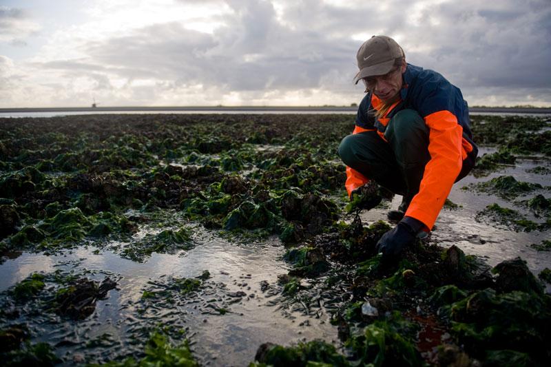 FVS 3055 web 6 juli: Waddenzeetocht Voedsel zoeken bij laag water